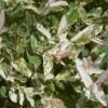 Salix Nishiki Willow