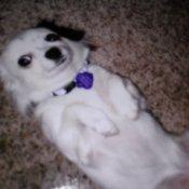 white dog lying on back