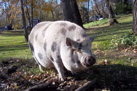 spotted potbelly pig