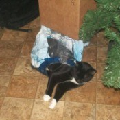 tuxedo cat in plastic bag on the floor