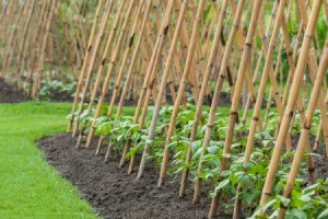Growing Bean Vine Crops
