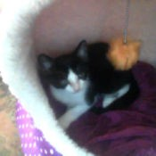 black and white kitten in cat bed