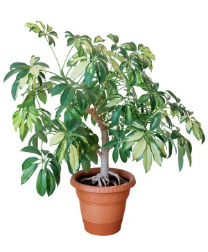Potted plant that is too big for its pot.