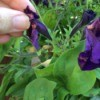 removing wilted flower 1