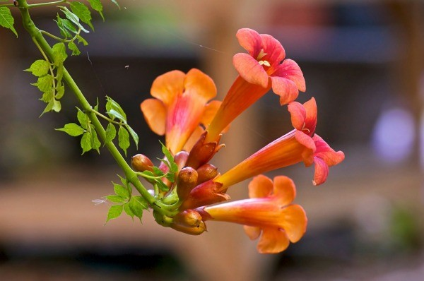 Growing perennial vines thriftyfun many beautiful flowers grow seasonally on vines that can climb walls cover arbors and create a sense of privacy and shade this is a guide about growing mightylinksfo