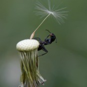 ant and single dandelion seed