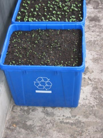 plastic totes with emerging seeds