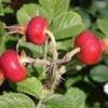 ripening rose hips