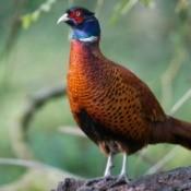 common male pheasant