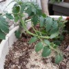 tomato plant on its side 2