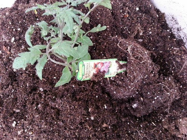 tomato plant on its side 3