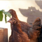 two backyard hens
