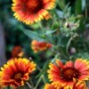 closeup of gaillardia
