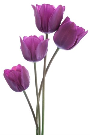 Four Purple Tulips