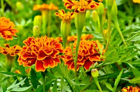 Marigolds to Repel Mosquitoes