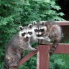 Coexisting with Raccoons