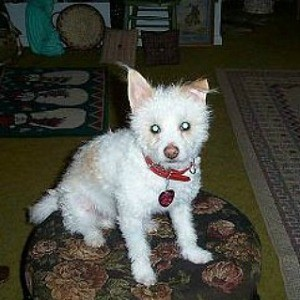 small curly white dog