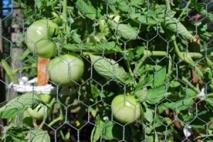 Protecting Tomatoes