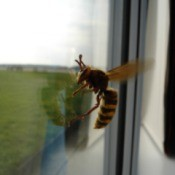 trapped bee