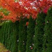 cedar hedge with red leaf maples above