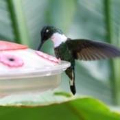 white throated mountain gem hummingbird