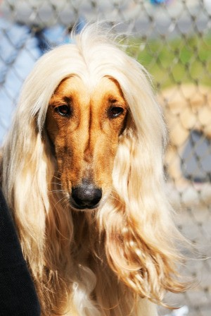 closeup of Afghan Hound