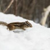 chipmunk in snow
