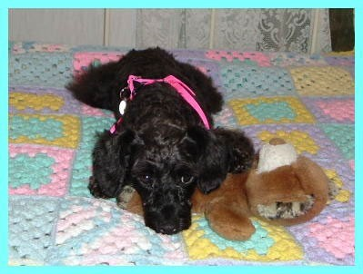 Angel Noelle - Schnoodle with her Teddy