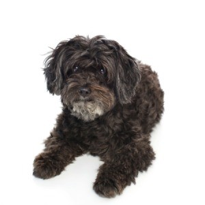 Schnoodle Breed Information and Photos