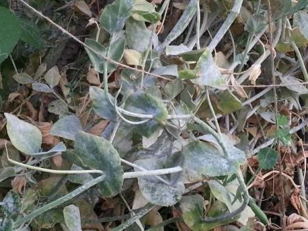 mildew on peas