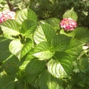 hydrangea with two pink flowers