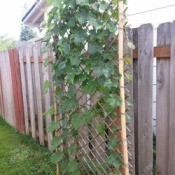 finished trellis with vine growing up