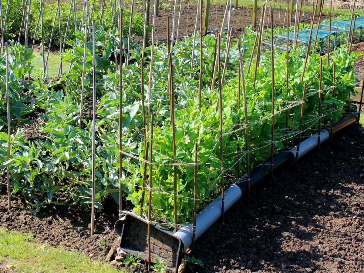 7a6051a4f These legumes are easy to grow and delicious prepared in many ways. This is  a guide about growing beans (bush and ...