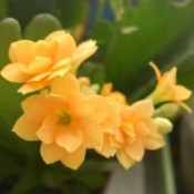 Yellow jonquil growing inside.
