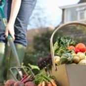 Vegetable Garden Harvest Photos