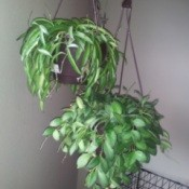 two hanging plants