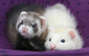 ferrets in their hammock