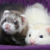 ferrets in their hammock