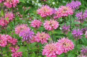 two colors of bee balm