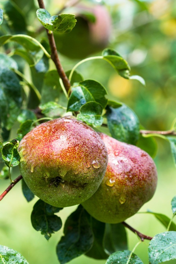 red faced pears on tree