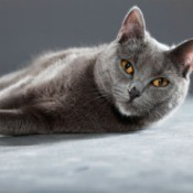 Chartreux lying down