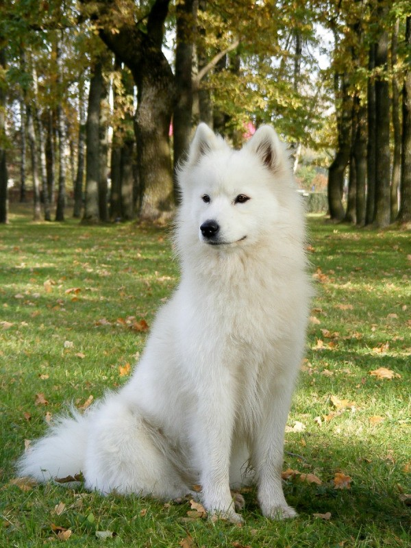 Samoyed Breed Information And Photos Thriftyfun