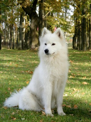 Samoyed sitting in grass with trees in the background