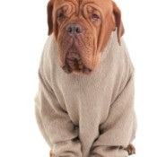 dog in large sweater