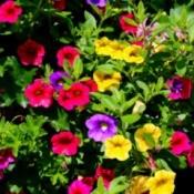 various colored petunias