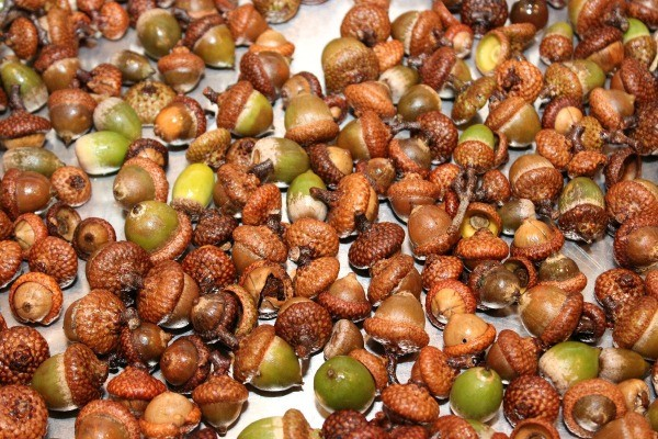 Preparing acorns for crafts thriftyfun for How to preserve acorns for crafts