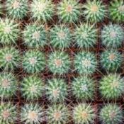 Cactus Seedlings