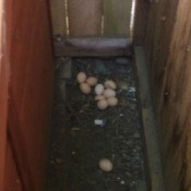 eggs between hen house and coop wall