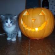 cute gray and white kitten next to Jack O' Lantern