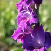 beautiful purple gladiola